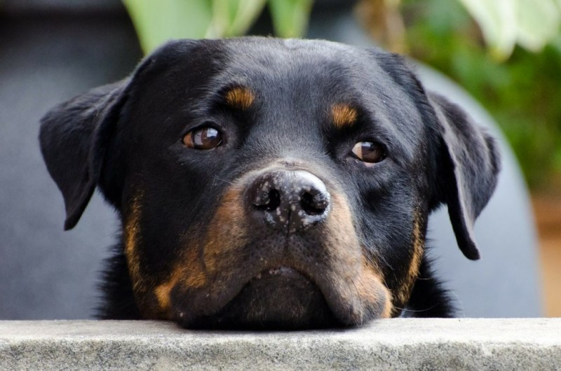 Difference Between An American Rottweiler And A German Rottweiler