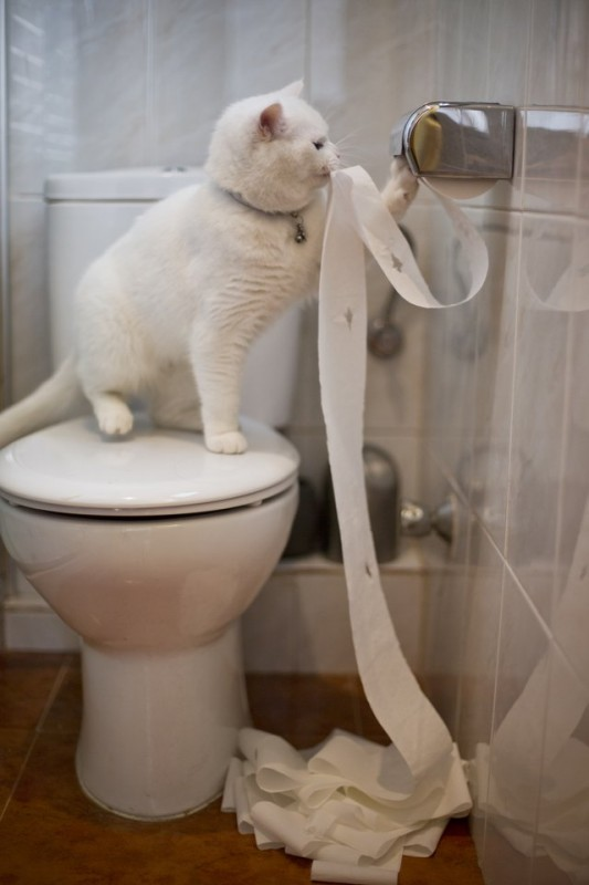 How to Toilet Train a Cat