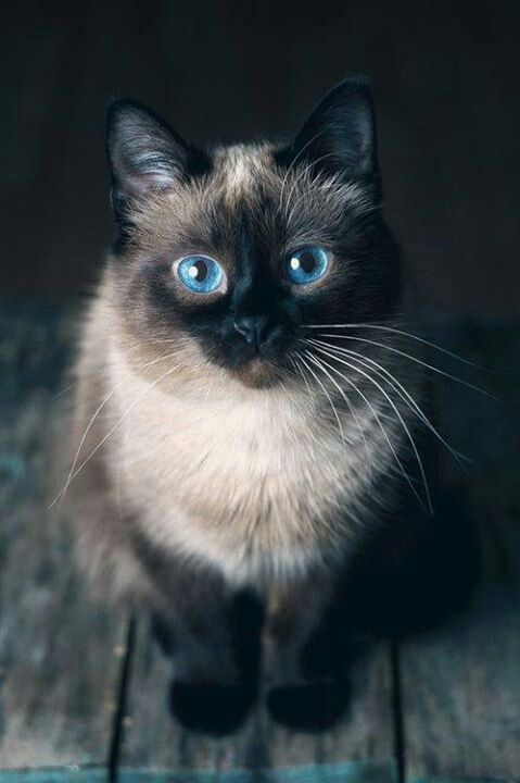 Siamese Cat Breed Information