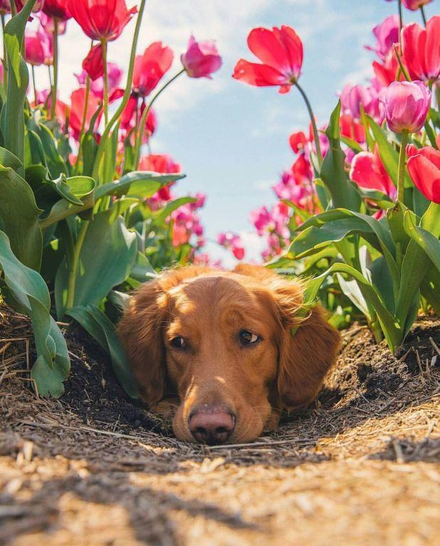 Golden Retriever In Tulip Field