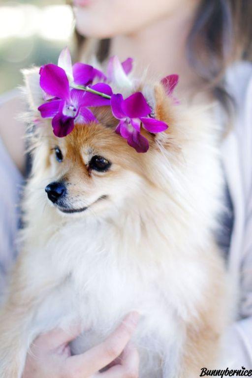 Pomeranian With Flower Crown