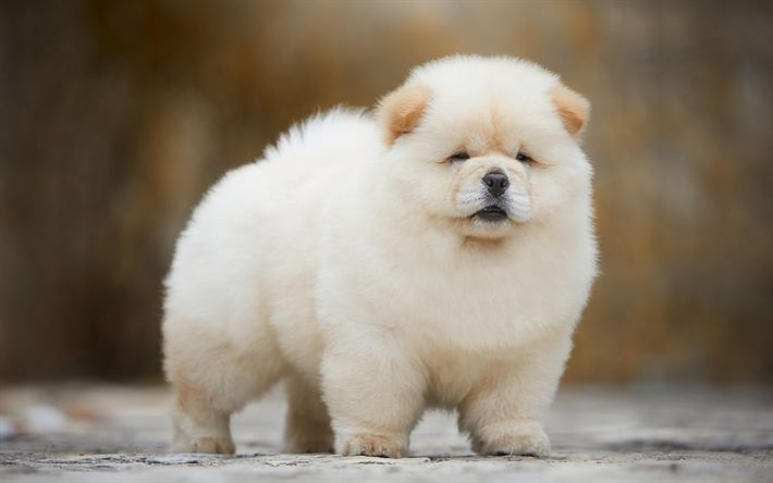 Chow Chow Dog Breed Facts Information