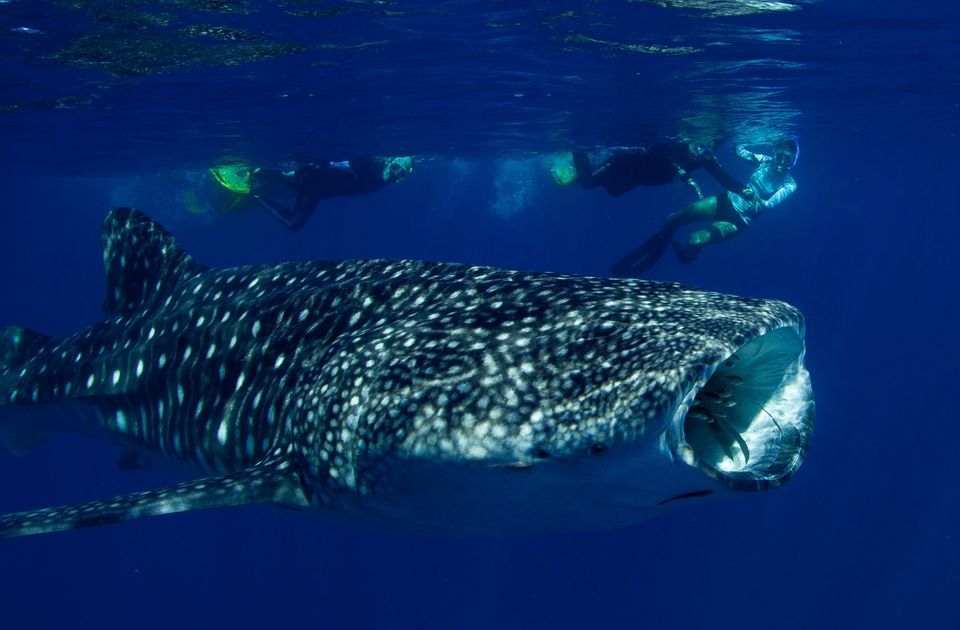 From Exmouth: Whale Shark Swim Full-Day Tour