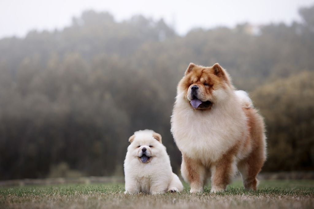 Chow Chow Dog Breed Facts & Information