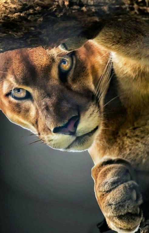 Interesting Facts About Pumas